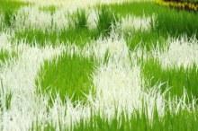 Tanaman padi di jepang