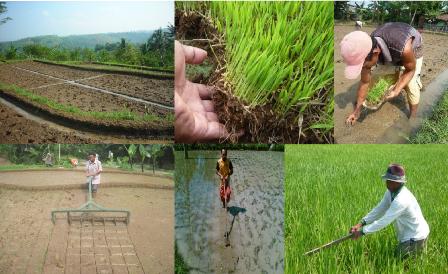 Teknik Pengolahan Tanah yang benar Tanaman Padi