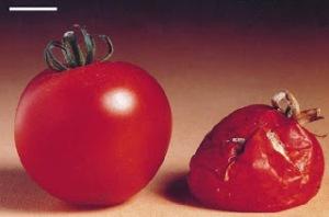 tomat-tahan-busuk