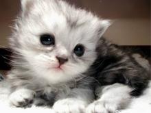 Kucing-Anggora