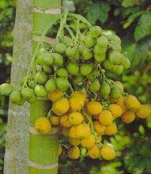 buah-pinang-muda